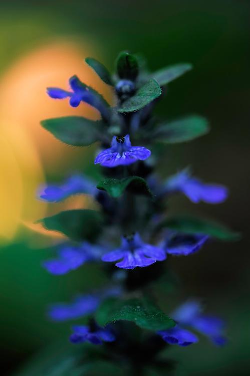 (Ajuga reptans), Blue bugle, Bugleherb, Bugleweed, Carpetweed, Common bugle, Mullerthal trail, Mullerthal, Luxembourg
