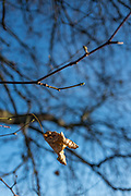 """Henley, Oxfordshire. England General Views Henley Town  Dead and Withered leaf, """"still hanging on"""".  <br /> <br /> Thursday  01/12/2016<br /> © Peter SPURRIER<br /> LEICA CAMERA AG  LEICA Q (Typ 116)  f1.7  1/3200sec  35mm  6.3MB"""
