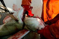 NORWAY LOFOTEN HENNINGSVAER 28MAR07 - Fisherman gutting a fish off Henningsvaer on the Lofoten islands...jre/Photo by Jiri Rezac..© Jiri Rezac 2007..Contact: +44 (0) 7050 110 417.Mobile: +44 (0) 7801 337 683.Office: +44 (0) 20 8968 9635..Email: jiri@jirirezac.com.Web: www.jirirezac.com..© All images Jiri Rezac 2007 - All rights reserved.