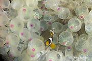 juvenile Clark's anemonefish, Amphiprion clarkii, in sea anemone, Entacmaea quadricolor, Tulamben Bay, Bali, Indonesia