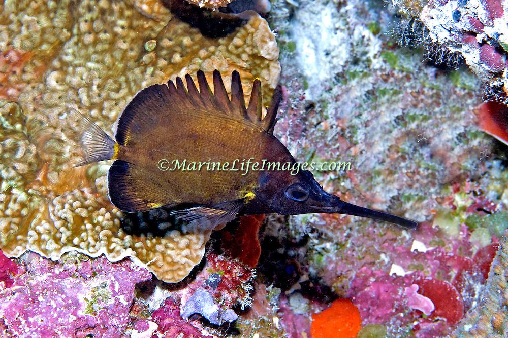 Big Longnose Butterflyfish inhabit reefs. Picture taken Palau.