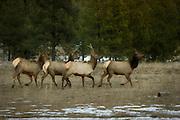 A small group of rocky mountain elk (Cervus elaphus elaphus) in NE Oregon.