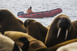 A zodiac driver drives behind a walrus (Odobenus rosmarus)  colony haul out ,  Svalbard, Norway