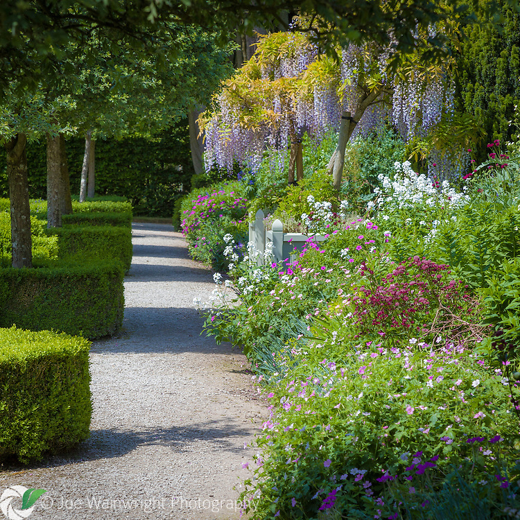 Wisteria blooms and early summer plants flower in the formal gardens at Holker Hall, Cumbria, photographed in June.