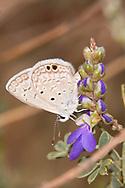 Ceraunus Blue (Hemiargus ceraunus) - female<br /> TEXAS: Victoria Co.<br /> Airport Gardens; Victoria<br /> 15.Nov.2009<br /> J.C. Abbott