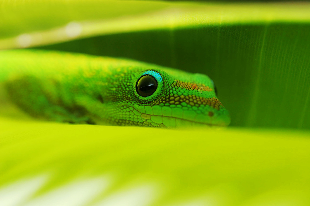 close up photography,wildlife.Madagascar day gecko.
