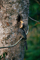 Austen's Brown Hornbill (Anorrhinus austeni) at the nest entrance peering in.  Khao Yai National Park, Thailand