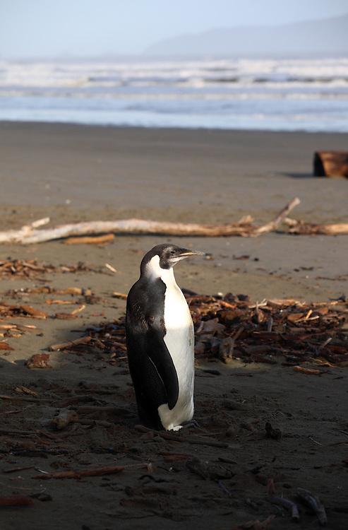 Juvenile emperor penguin at Peka Peka Beach on the Kapiti Coast.
