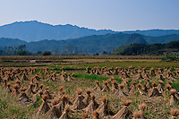 Harvest time in the Guiin and Yangshuo region.   Stacks of straw sit in bald rice fields amongst the limestone karsts.