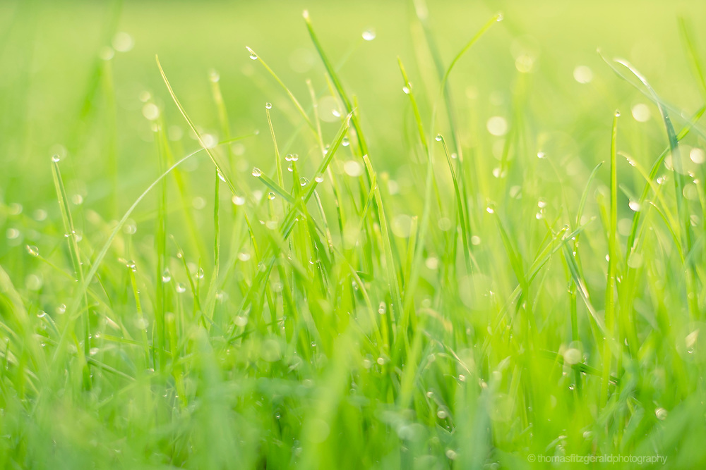 Morning dew in the long grass as the sun lights the dew drops