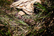 "A Jie man allegedly stabbed by a group of Murle after a night of drinking in Jonglei state, Southern Sudan. Tradition calls for a man killed ""on the way"" to be left in the bush and not buried. If the guilty are not found tradition then calls for an innoncent person ""on the way"" to be killed in revenge. Such revenge killings often unleash small long lasting wars over single incidents across South Sudan."