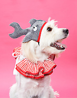 White mixed breed terrier wearing red and white clown collar and shark hat against pink seamless.<br /> Photographed at the Photoville Photo Booth September 20, 2015