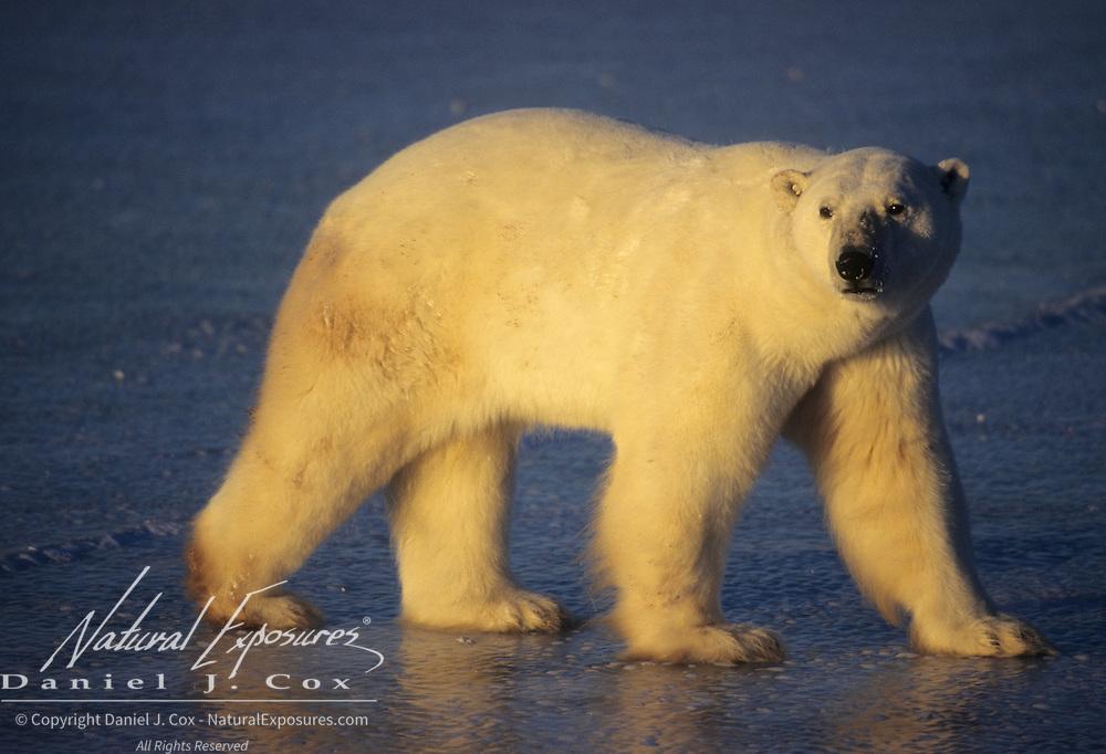 Polar Bear (Ursus maritimus) on frozen ice of Hudson Bay, Canada.