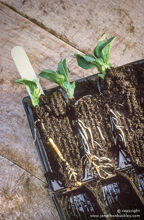 Broad bean Stereo seedling in a root trainer