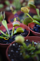 Venus Flytraps available for purchase at the North Carolina State Farmer's Market.
