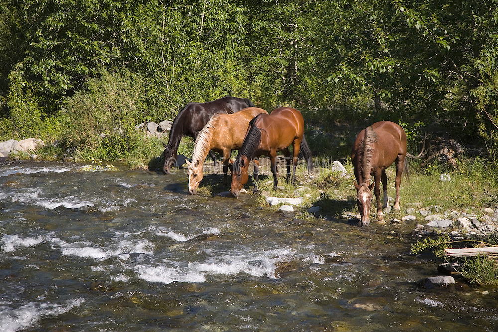 Four horses at linerty, peacefully drinking from a mountain stream at the end of a summer's day