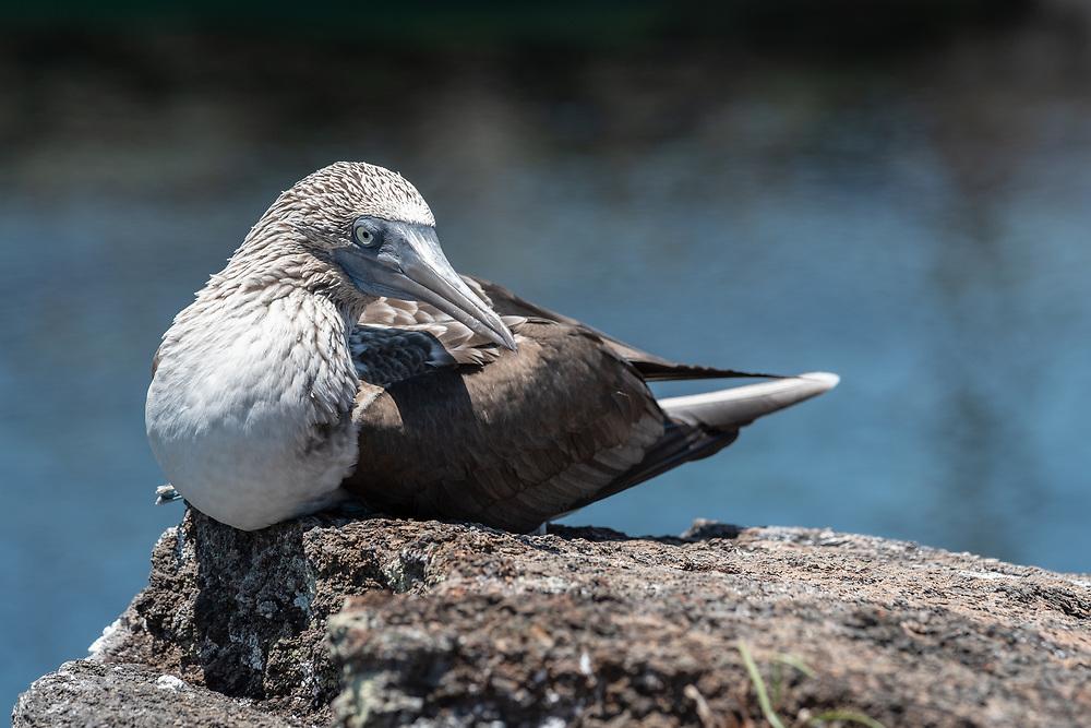 Blue-footed booby (Sula nebouxii) on the coast of Isabela Island, Galapagos Islands, Ecuador.
