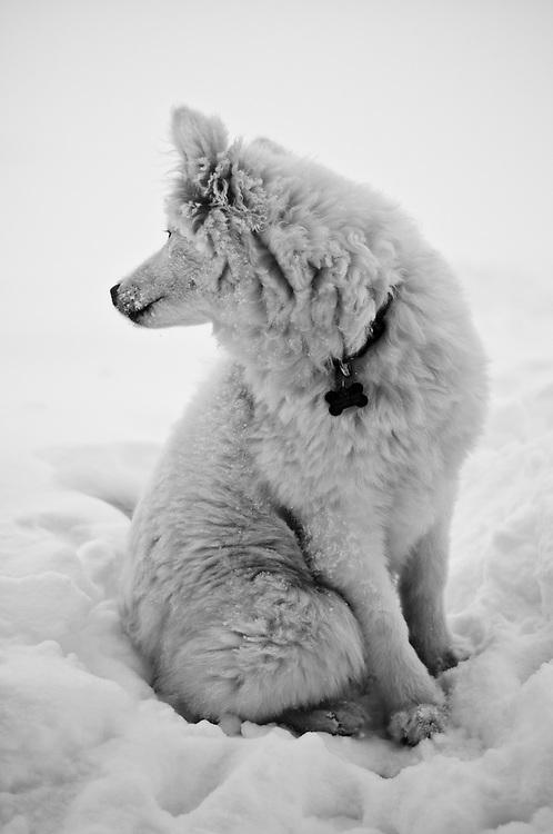 Name: Kuma<br /> Breed: Samoyed<br /> Age: 6 months