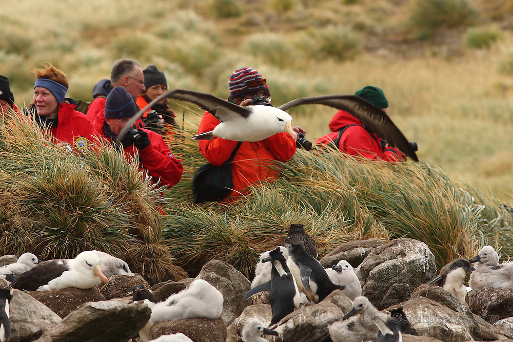 Black-browed Albatross, Thalassarche melanophris, breeding colony, with people in the background, by Markus Lilje