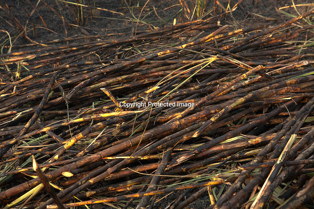 Harvested sugarcane. The field is first set on fire. The fire burns dry leaves without harming the stalks and roots. Workers then cut the cane just above ground-level using special knife.