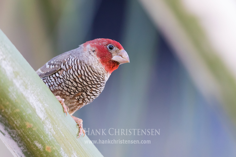 A male red-headed finch perches on a thick branch, Windhoek, Namibia.