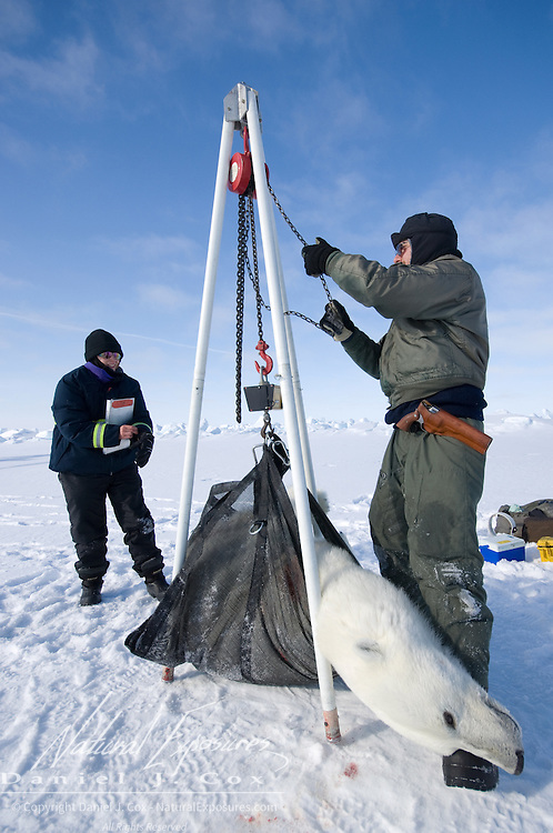 Geoff York, a USGS biologist, and Katrina Knott, research assistant, collecting data from a polar bear on the Beaufort Sea ice. They use a block and tackle to take weight measurments. Kaktovik, Alaska