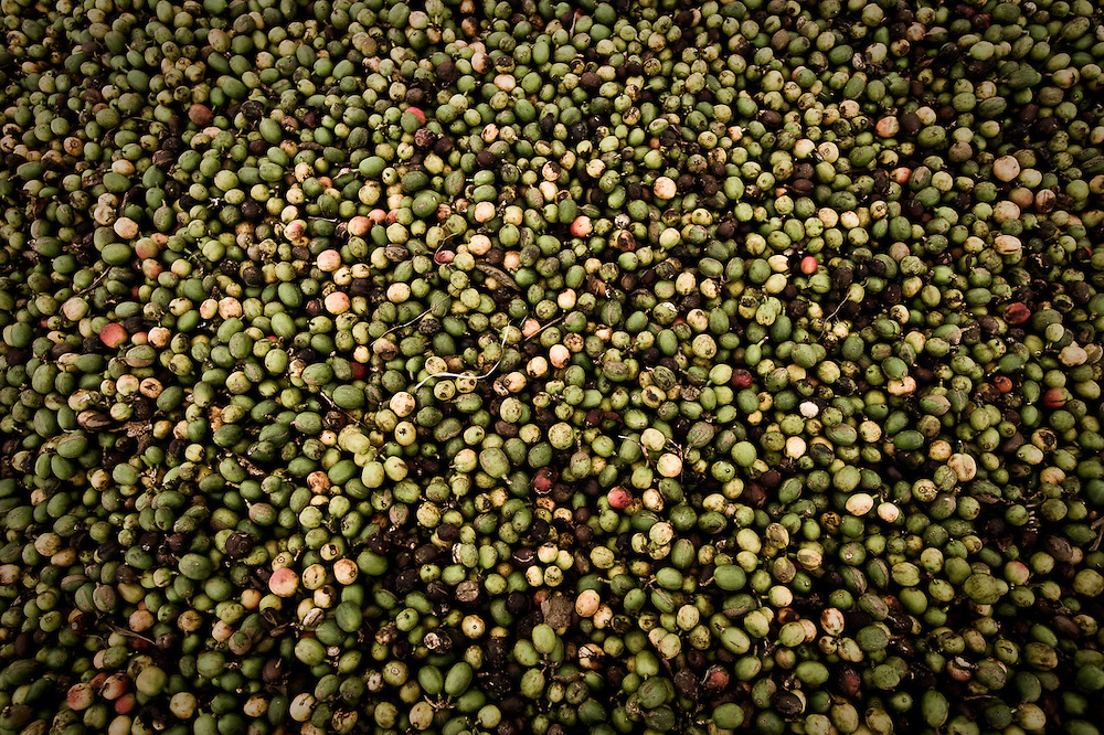 Coffee beans drying in the sun at Burkka Coffee Estates, Tanzania.