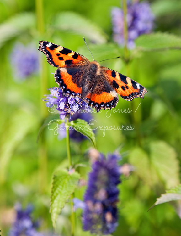 Agastache cv with small tortoiseshell butterfly (Aglais urticae)