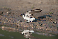 House martin (Delichon urbica) adults collecting mud for nestbuilding in Codrii forest Reserve, central Moldova