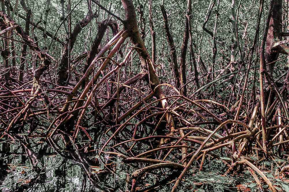 Red Mangroves, Robinson Preserve, Bradenton, Florida.