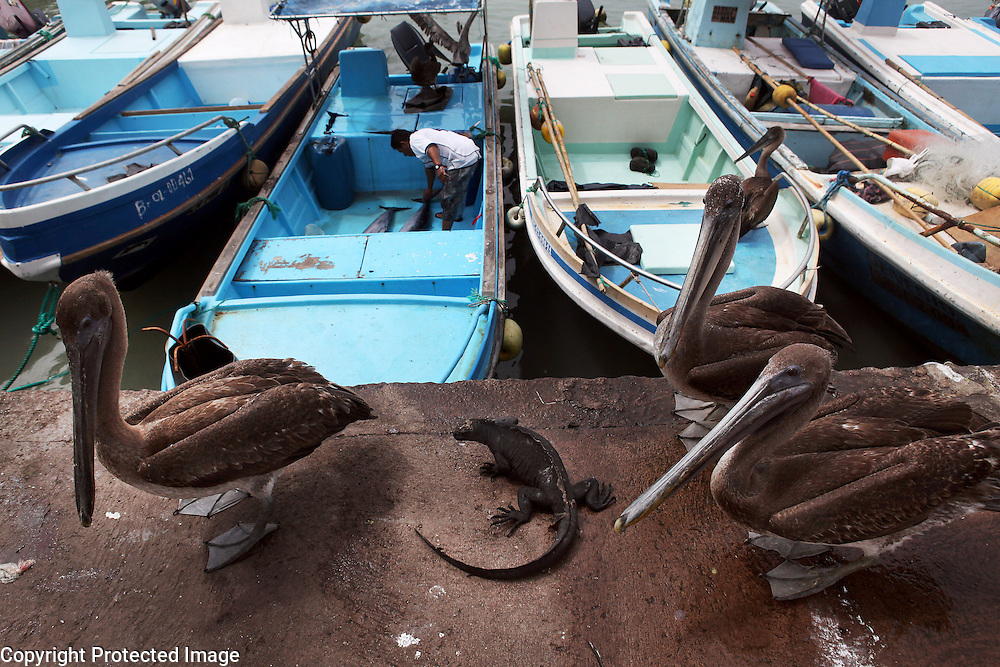 Three pelicans and a marine iguana are photographed at the harbor in Puerto Ayora on Santa Cruz Island in the Galapagos Islands.