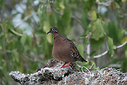 A Galapagos dove perches on volcanic rock on Genovesa island in the Galapagos.