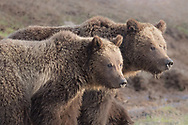 Grizzly sows normally separate from their cubs during the cub's second year, but Yellowstone Grizzly 815 showed no signs of aggression towards her cub as the pair traveled around the park in search of forage.