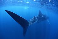 Whale shark. Rhincodon typus. Weatern Australia, Exmouth