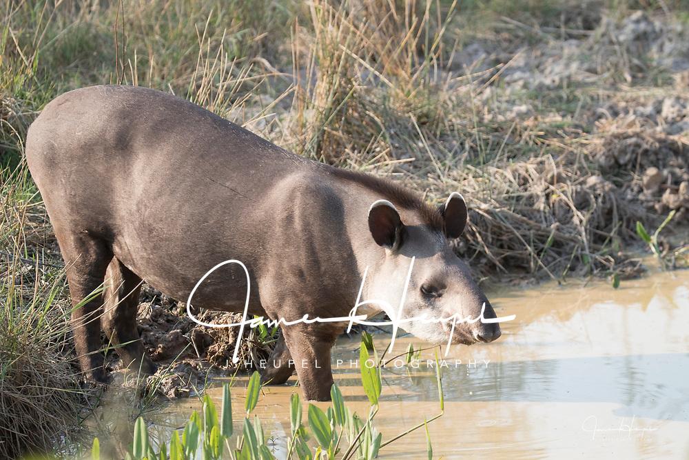 Tapir Stands in Water