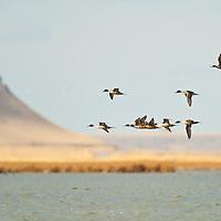 courtship flight, northern pintail ducks courtship flight