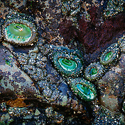 Sea anemones gather in the rocks of a tidal pool along the coast of Second Beach in Olympic National Park, Washington.