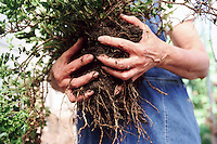 Gardener Holding Plant Roots --- Image by © Jim Cummins/CORBIS