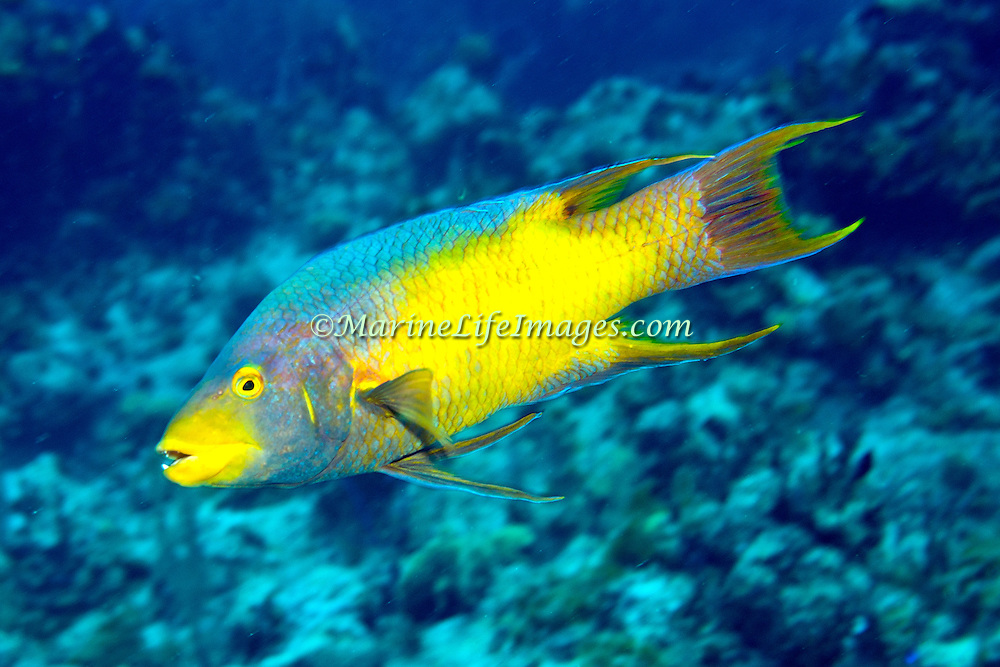 Spanish Hogfish constantly swim about reefs and areas of rocky rubble in Tropical West Atlantic; San Salvador, Bahamas.