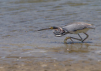 tricolored heron (Egretta tricolor) in Cost Rica. Hunting for food