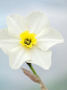 Narcissus 'Lieke'