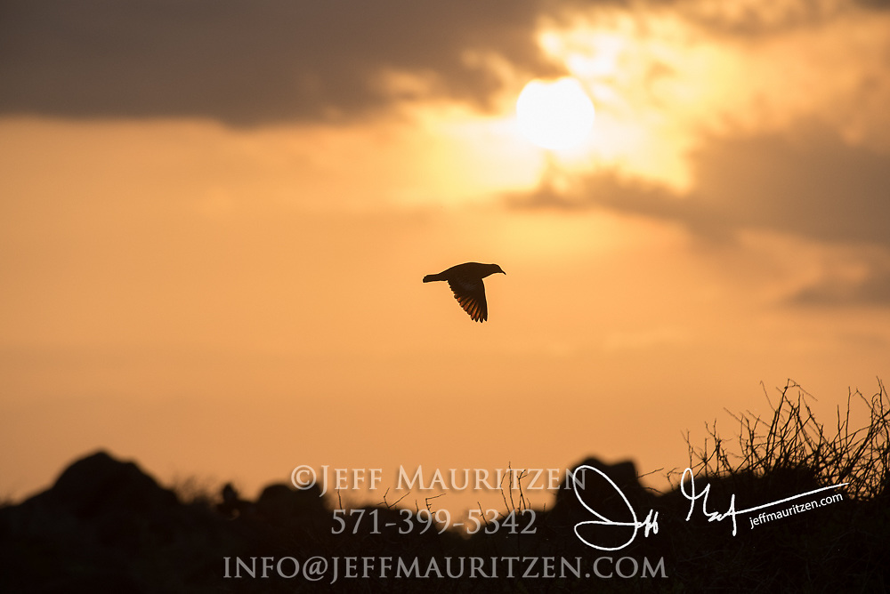 A Galapagos dove in flight at sunset above Espanola island in the Galapagos.