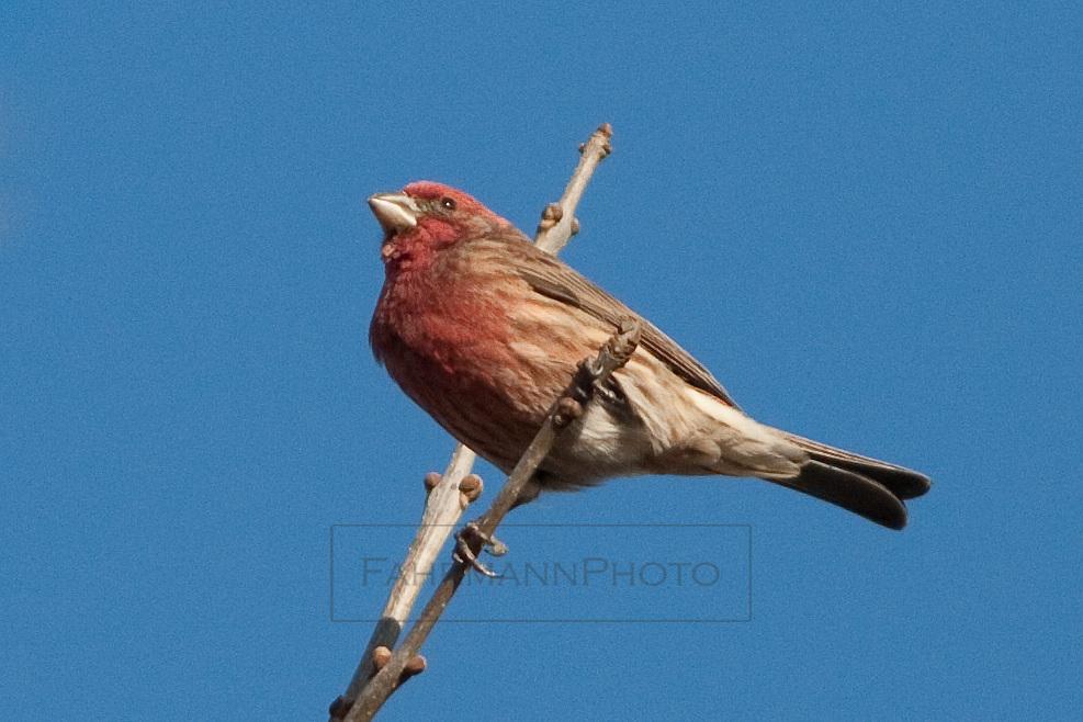 Purple Finch in a tree near Lake Nokomis