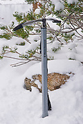 Ice axe in snow, John Muir Wilderness, Sierra Nevada Mountains, California