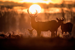 © Licensed to London News Pictures. 19/01/2017. London, UK. Deer in Bushy Park at first light. Temperatures are not expected to rise above 1 degree in the south east today. Photo credit: Peter Macdiarmid/LNP