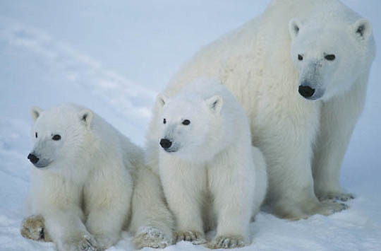 Polar Bear, (Ursus maritimus) Portrait of mother with cubs. Churchill, Manitoba. Canada.