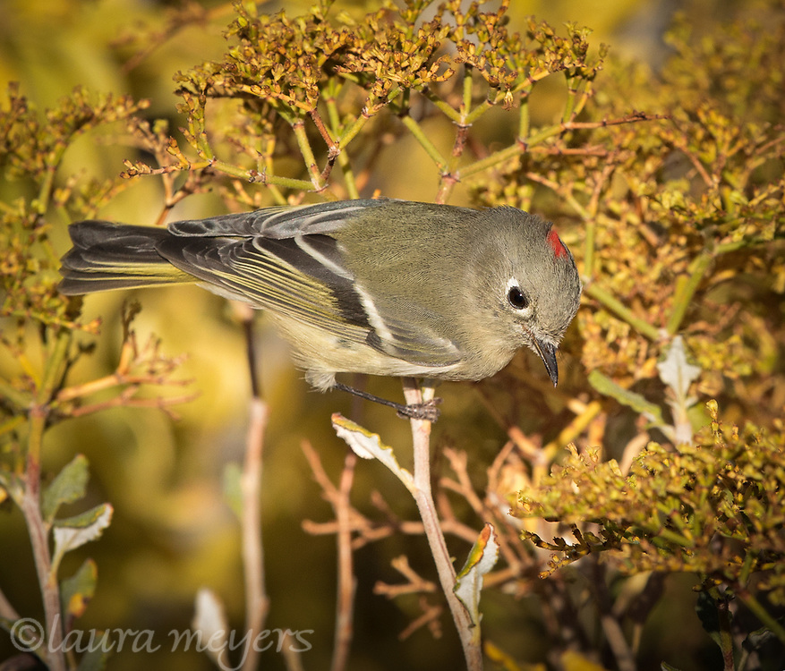 Ruby-crowned Kinglet in a bush at the Petrified Forest National Park in Arizona at sunset.