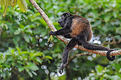 Mantled Howler Monkey (Alouatta palliata