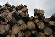 Hout ligt klaar om verwerkt te worden tot klompen. Produktie bij de grootste klompenfabriek ter wereld, Klompenfabriek Nijhuis B.V. in Beltrum. Voor de productie van klompen worden speciale en zelf ontwikkelde machines gebruikt. Hoewel het principe al erg oud is, worden de productietechnieken nog steeds verbeterd.<br /> <br /> Stock of wood for the production of the wooden shoes. Production at the biggest manufacturer of wooden shoes, Klompenfabriek Nijhuis B.V. at Beltrum (NL). For the production special and self developed machines are used. Although the principe of the manufacturing is very old, the techniques are still being improved.
