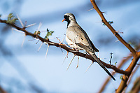 Namaqua Dove, Zakouma National Park, Chad